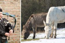 Der Dudelsackspieler Axel Römer und die beiden Esel Pia und Wikked © Axel Römer, Beatrix Schneevogt