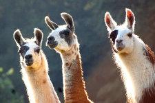 Die exotischen Lamas als Teil des Saisonstarts in Haus Dahl © S. Ost